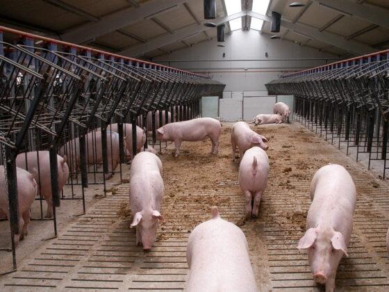 Свиноводство. Отрасль свиноводства - бизнес с перспективой, рентабельностью, мощностями